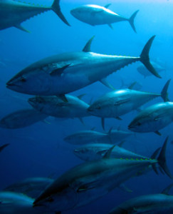 Overfishing pushing tuna to the brink