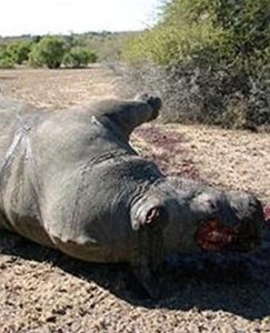 Poachers kill 100 rhino in two months